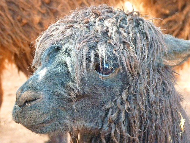 alpaca-43407_640