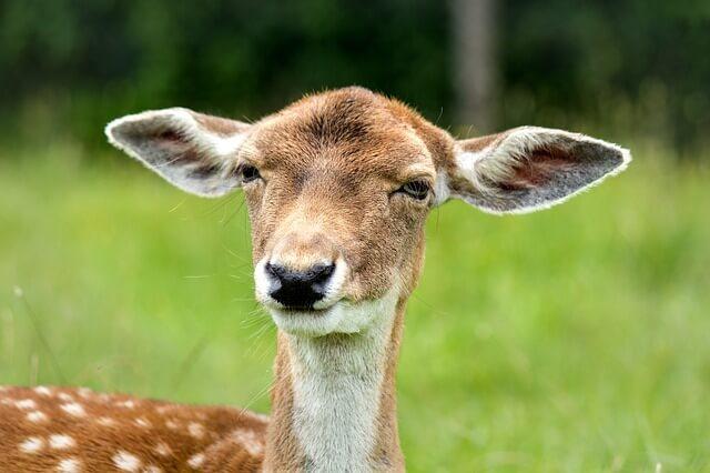 cervo orecchie