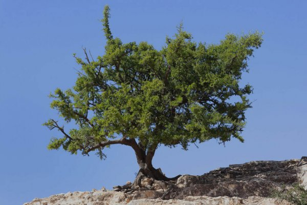 albero argania spinosa